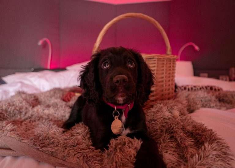 Bidean the doge enjoying luxury pet friendly lodges with hot tubs, Woodlands Glencoe, Scotland